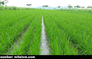 jajar legowo untuk sistem penanaman padi