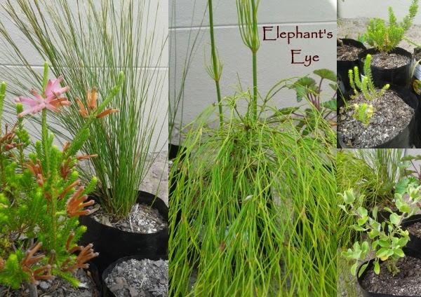 Ericas, restios and Salvia