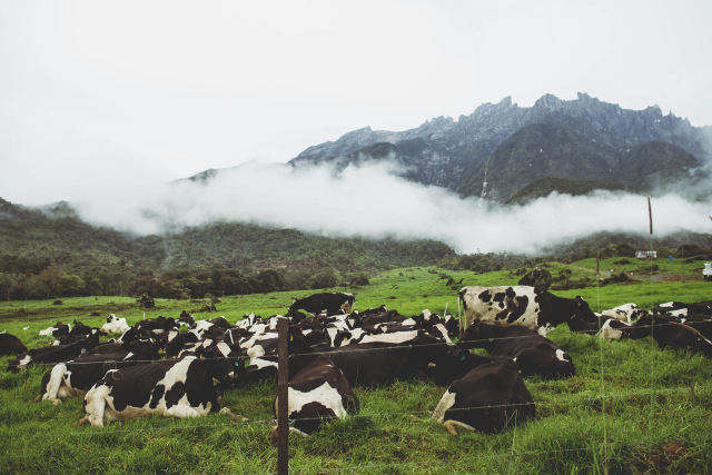 DESA CATTLE DAIRY FARM, KUNDASANG