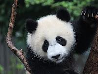 Fakta-Fakta panda yang menarik