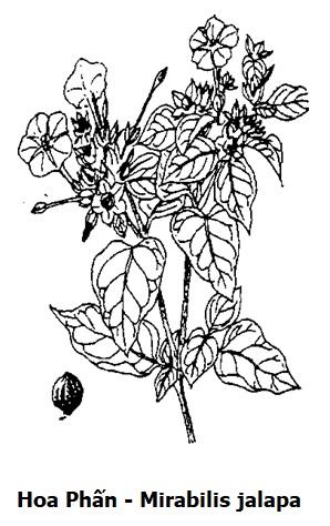 Hình vẽ Hoa Phấn - Mirabilis jalapa - Nguyên liệu làm thuốc Nhuận Tràng và Tẩy