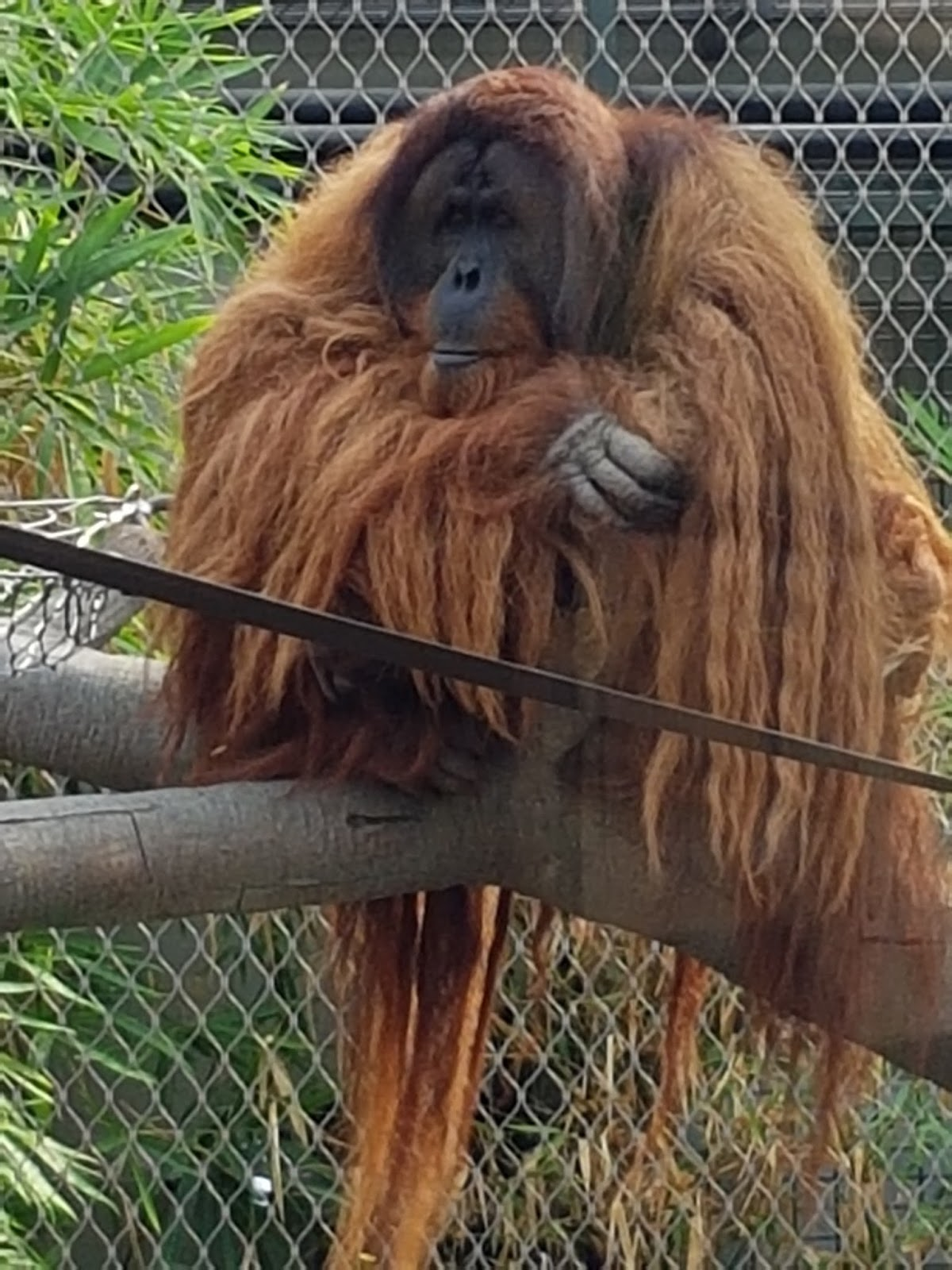 A picture of a very hairy orangutan!