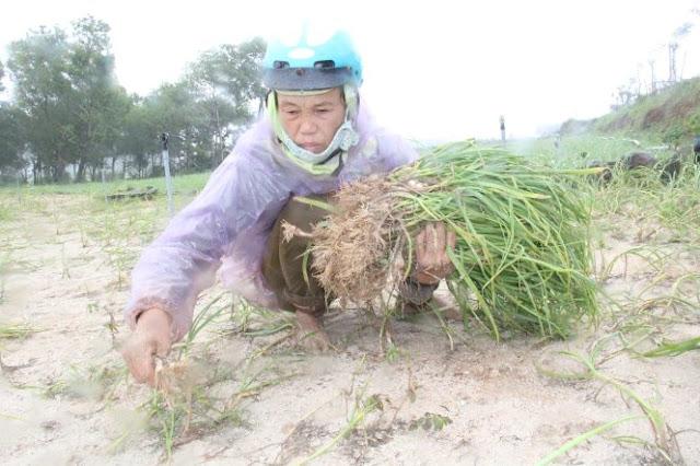 Bà Phạm Thị Thọ (xã An Vĩnh, Lý Sơn) rầu rĩ do toàn bộ diện tích tỏi của gia đình mất trắng.