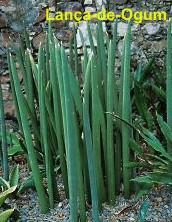 A entidade das folhas medicinais e litúrgicas dentro do candomblé e da umbanda é ossãe. Olhos De Oxala Ervas De Ogum