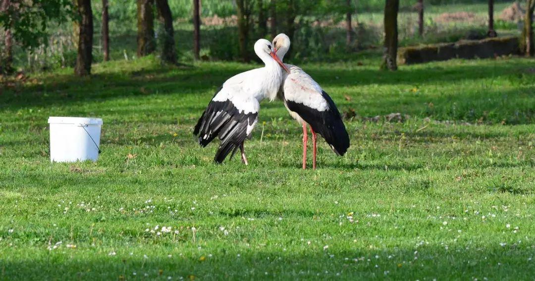 Klepetan met the love of his life, white stork Malena