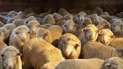 áo da cừu