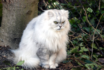 Chancilla cat