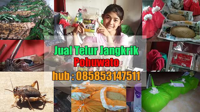 Jual Telur Jangkrik Pohuwato Hubungi 085853147511