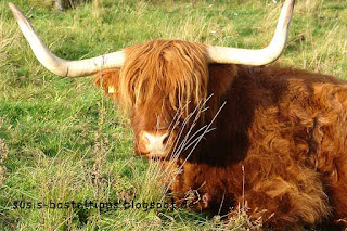 Highland Cow: Foto von unabhängiger Stampin' Up! Demonstratorin Susanne McDonald