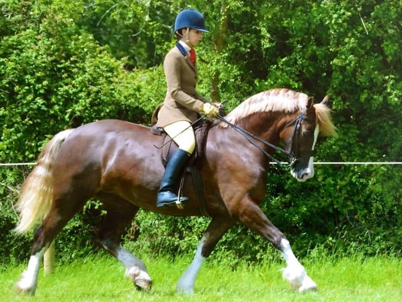Section A For Sale 28 Images Windwillow Llewellyn Section A 5 Year Gelding For Sale 11 2hh