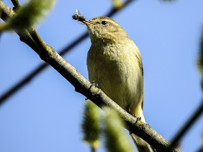 chiffchaff-caught-a-fly