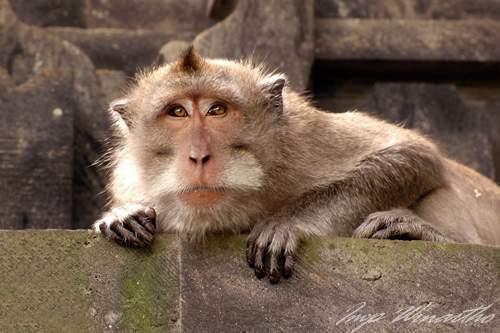 Gambar Binatang Monyet Jambul
