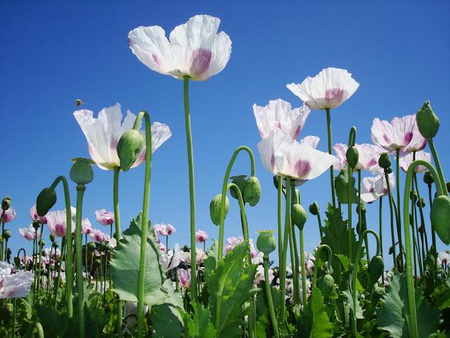 Scientists decode opium poppy genome