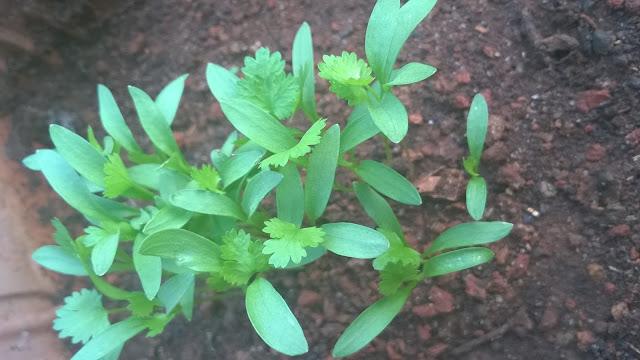 herbs, kothimbir, coriander