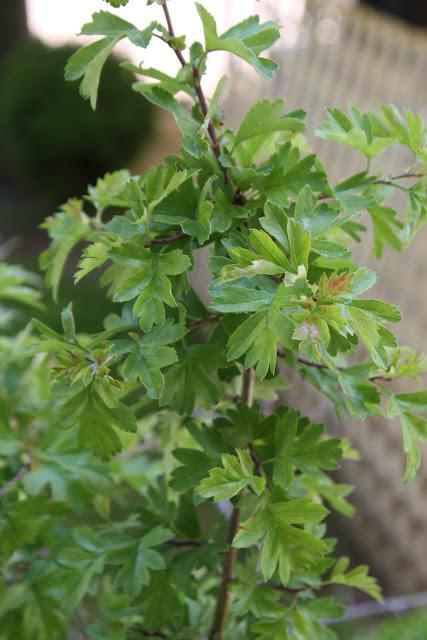 Κράταιγος (Crataegus oxyacantha)