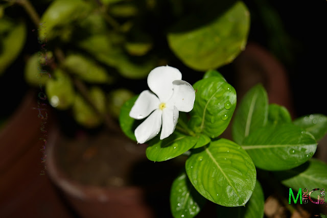 Metro Greens: White Vinca Blooms