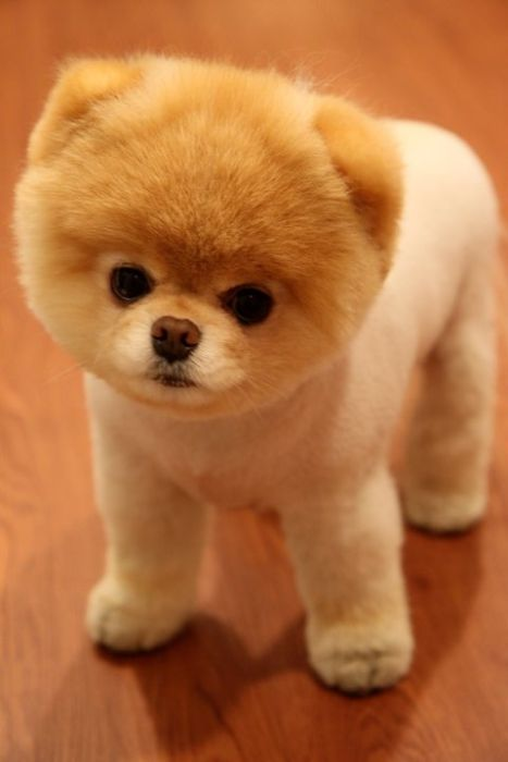 pomeranian boo dogs boo the cutest pomeranian dog in the world amazing things 9237