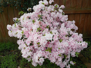bunga azalea putih