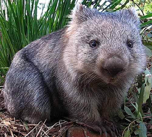 Baby Wombat: Wombat