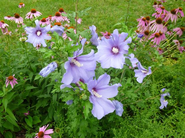 'Blue Bird'Sharon(芙蓉Syriacus)玫瑰在紫色Coneflowers(echinacea purpurea)中