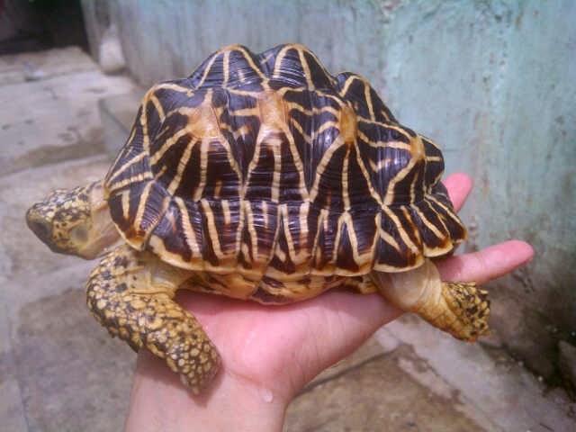 Penyakit pyramiding kura-kura.