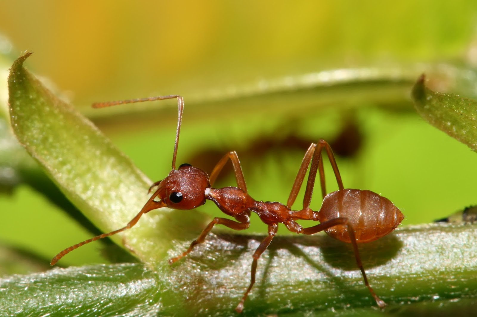 Insects: Red Weaver Ant, Oecophylla longinoda