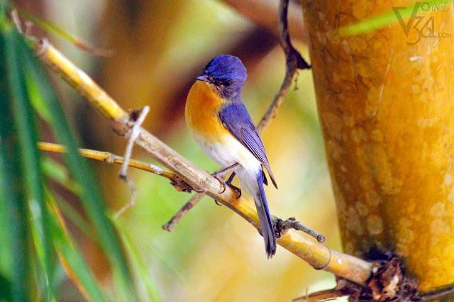Tickells Blue Flycatcher - Ranganathittu