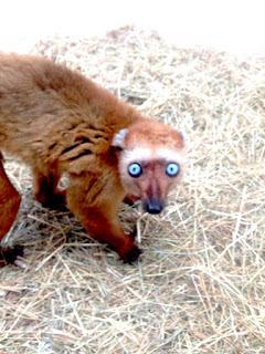 Brauner Lemur mit großen blauen Augen aus dem Kölner Zoo