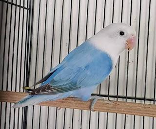 burung lovebird biola blue