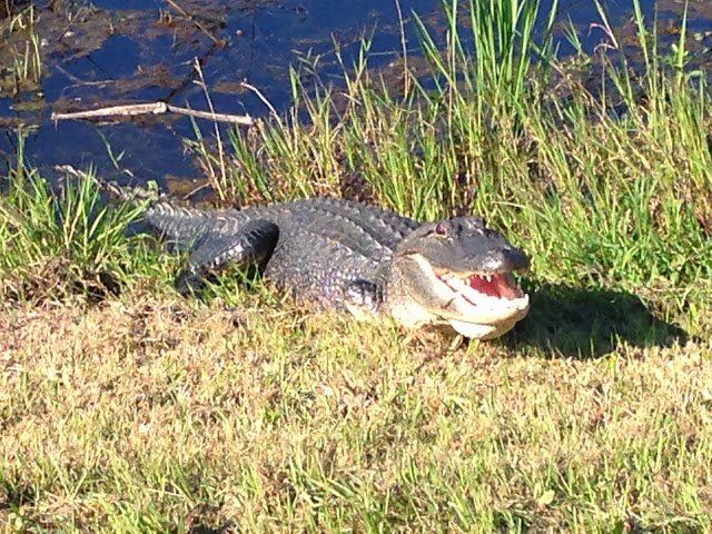 An alligator in the sun at the Cameron Prairie National Wildlife Refuge