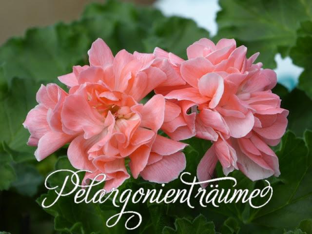 Hybridpelargonie-riesige-Blüten