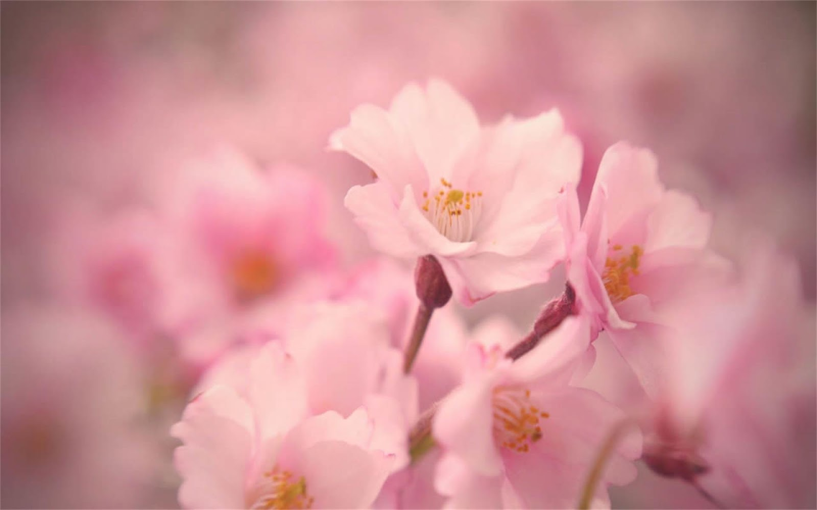 Beautiful peach blossom PPT background