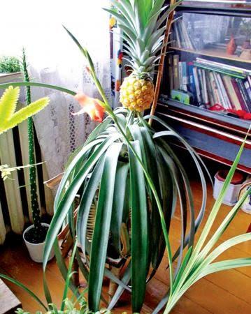Ciptakan Suasana Hijau Dalam Ruangan Dengan Tanaman Buah