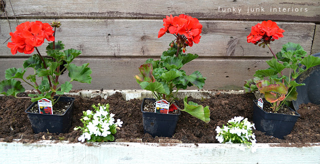 planting red geraniums inside a flowerbox