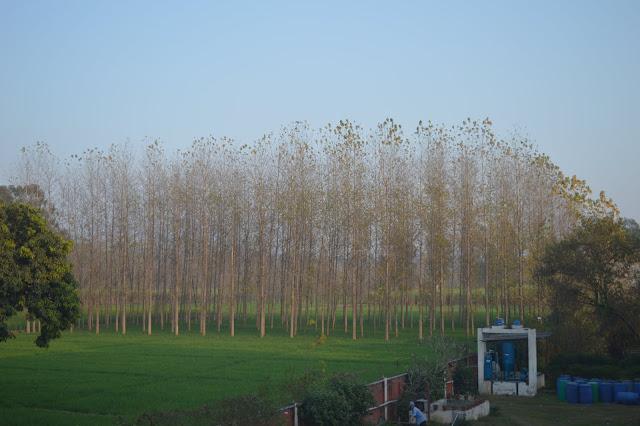 poplar, shiv sangal, blogging, gurukul narsan, India