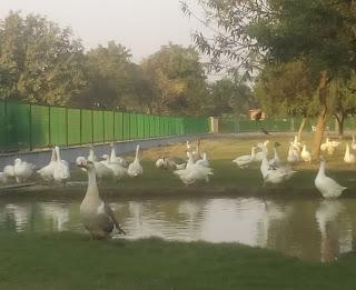 Ducks Bird
