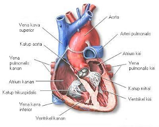 Jantung sebagai pusat peredaran darah
