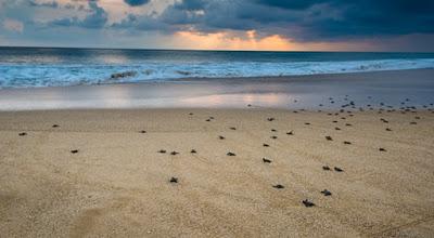 Pangumbahan Beach, Heaven For Green Sea Turtle In Sukabumi, green sea turtle, beach, family vacation
