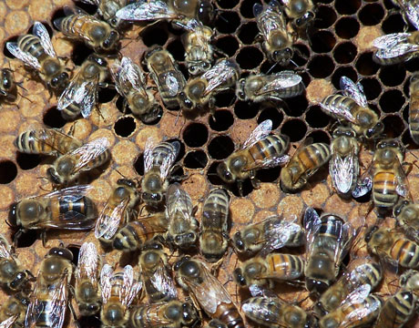 Homestead Revival: Choosing A Bee Breed - photo#17
