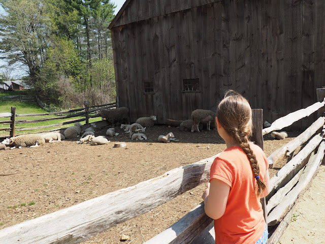 Old Sturbridge Village--lambs