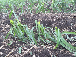hail-damaged-corn