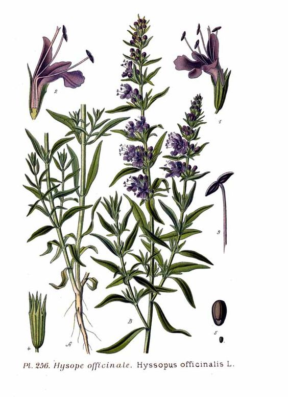 Hyssop illustration