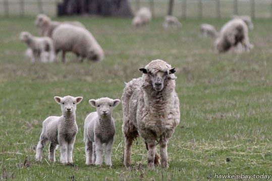 Lambs, sheep on paddocks near the Hawke's Bay Expressway - weather, cold front coming tomorrow evening. photograph