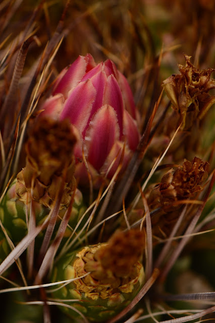 ferocactus, fishhook cactus, flower, sonoran, desert, small sunny garden, amy myers, photography