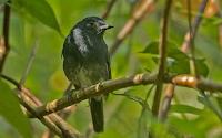 New species of song bird found
