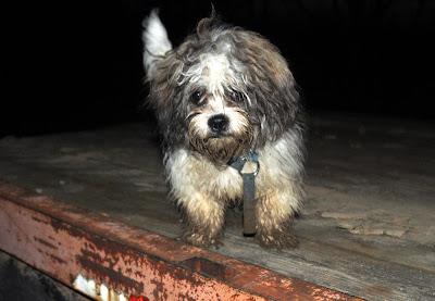 muddy small lap dog