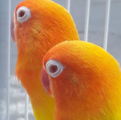 Burung Lovebird Lutino Mata Hitam