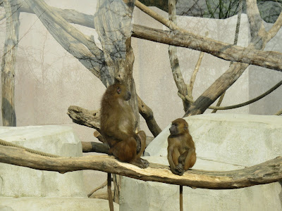 Guinea baboons at Paris Zoo