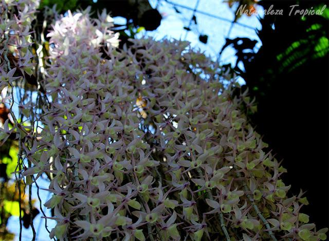Como queda la lluvia de orquídeas, Dendrobium pierardii