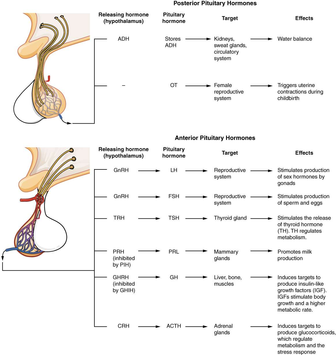 PITUITARY HORMONES AND FUNCTIONS